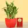 2 Layer Lucky Bamboo With Free Gold Plated Coin